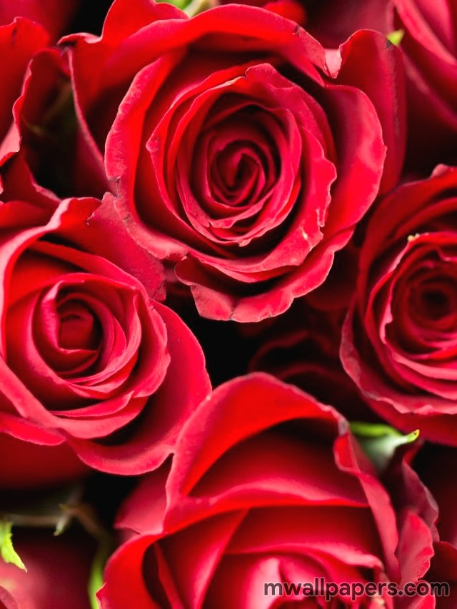 Red Rose HD Images and Wallpapers (1080p) (4323) - rose, red rose, flower, love
