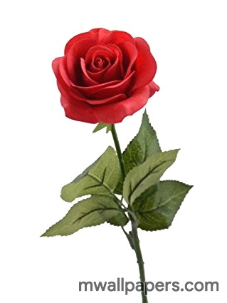 Red Rose Hd Images And Wallpapers 1080p Android Iphone Ipad Hd