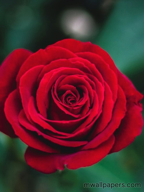 Red Rose HD Images and Wallpapers (1080p) (4335) - Roses