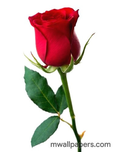 Red Rose HD Images and Wallpapers (1080p) (4338) - Roses
