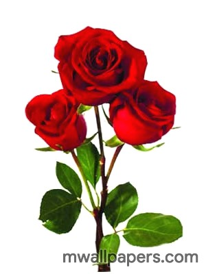 Red Rose HD Images and Wallpapers (1080p) (4324) - Roses