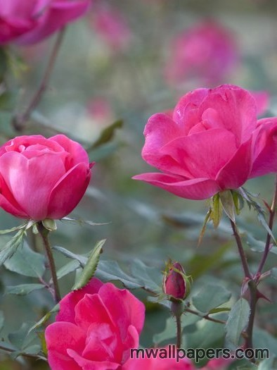 Red Rose HD Images and Wallpapers (1080p) (4333) - Roses