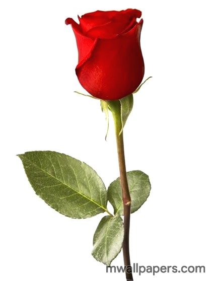 Red Rose HD Images and Wallpapers (1080p) (4340) - Roses
