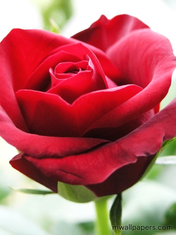 Red Rose HD Images and Wallpapers (1080p) (4350) - Roses