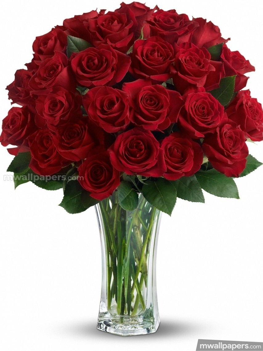 Roses Beautiful HD Photos (1080p) (16237) - Roses