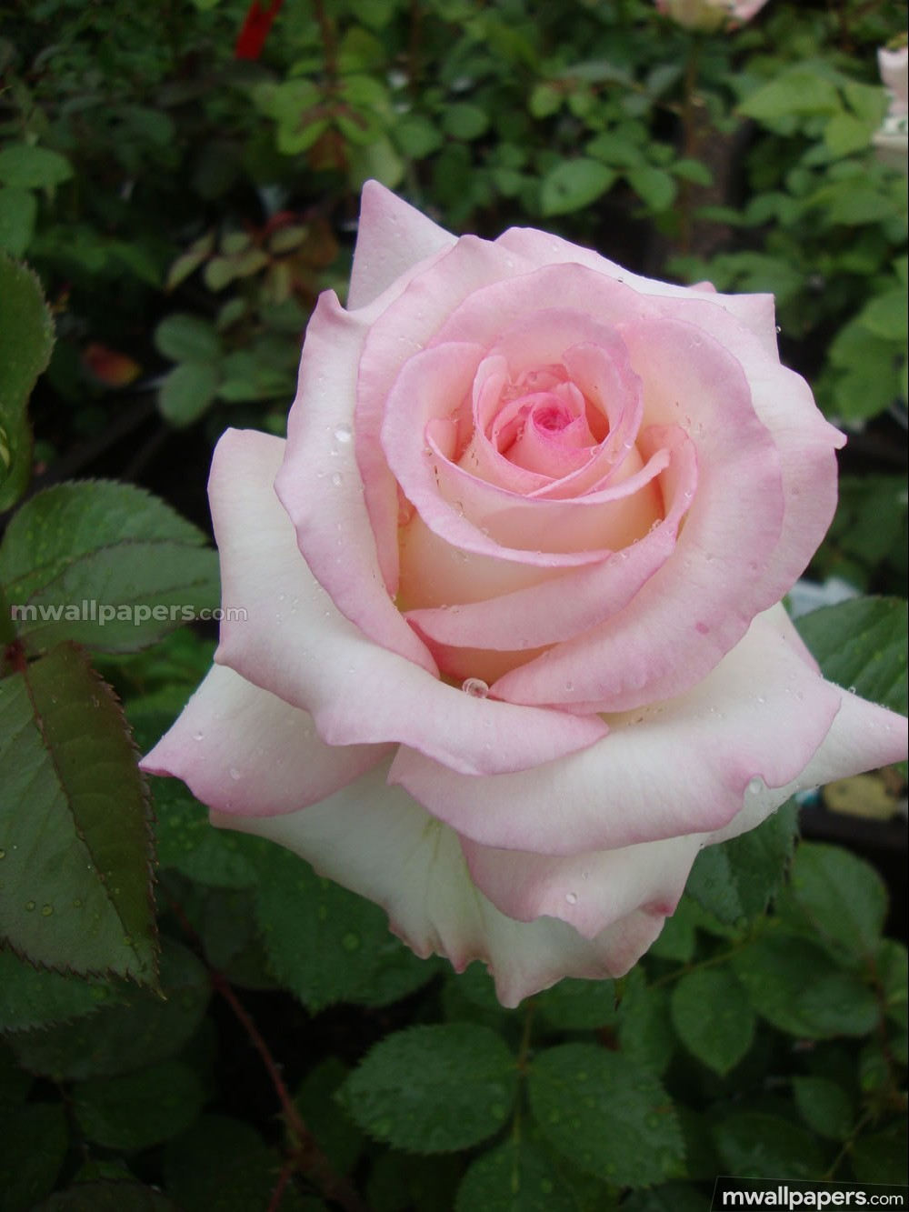 Roses Beautiful HD Photos (1080p) (16236) - Roses