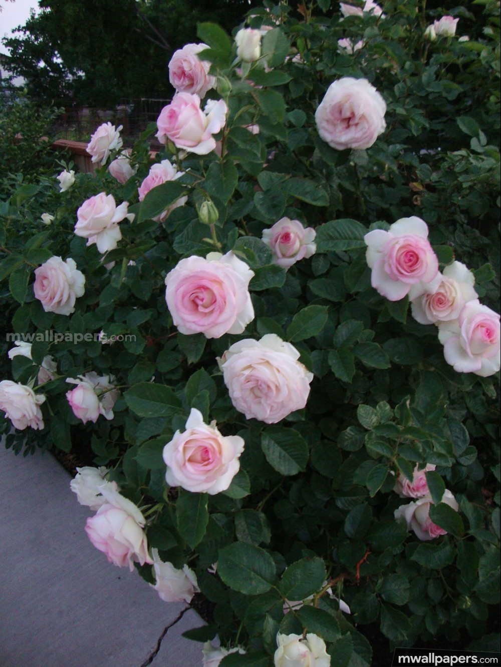 Roses Beautiful HD Photos (1080p) (16235) - Roses
