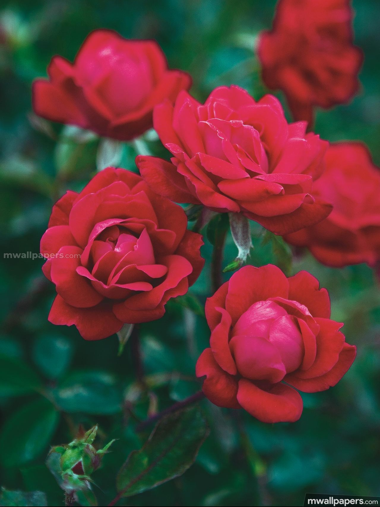 Roses Beautiful HD Photos (1080p) (16197) - Roses