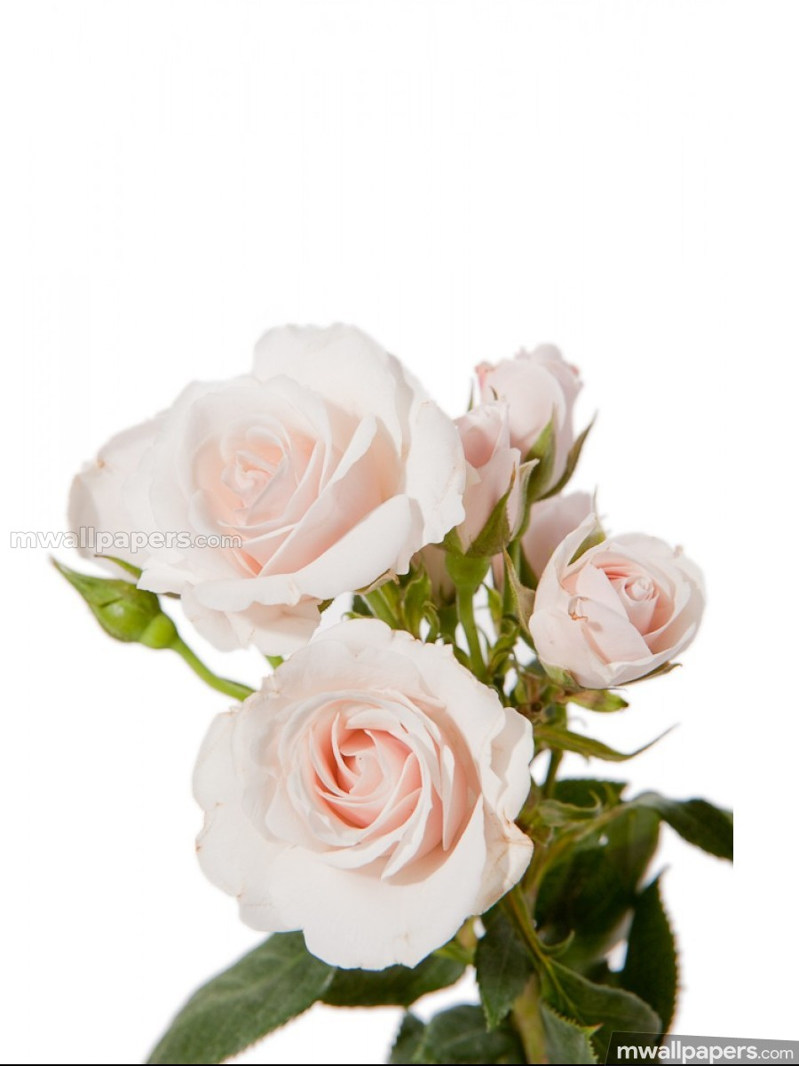 Roses Beautiful HD Photos (1080p) (16242) - Roses