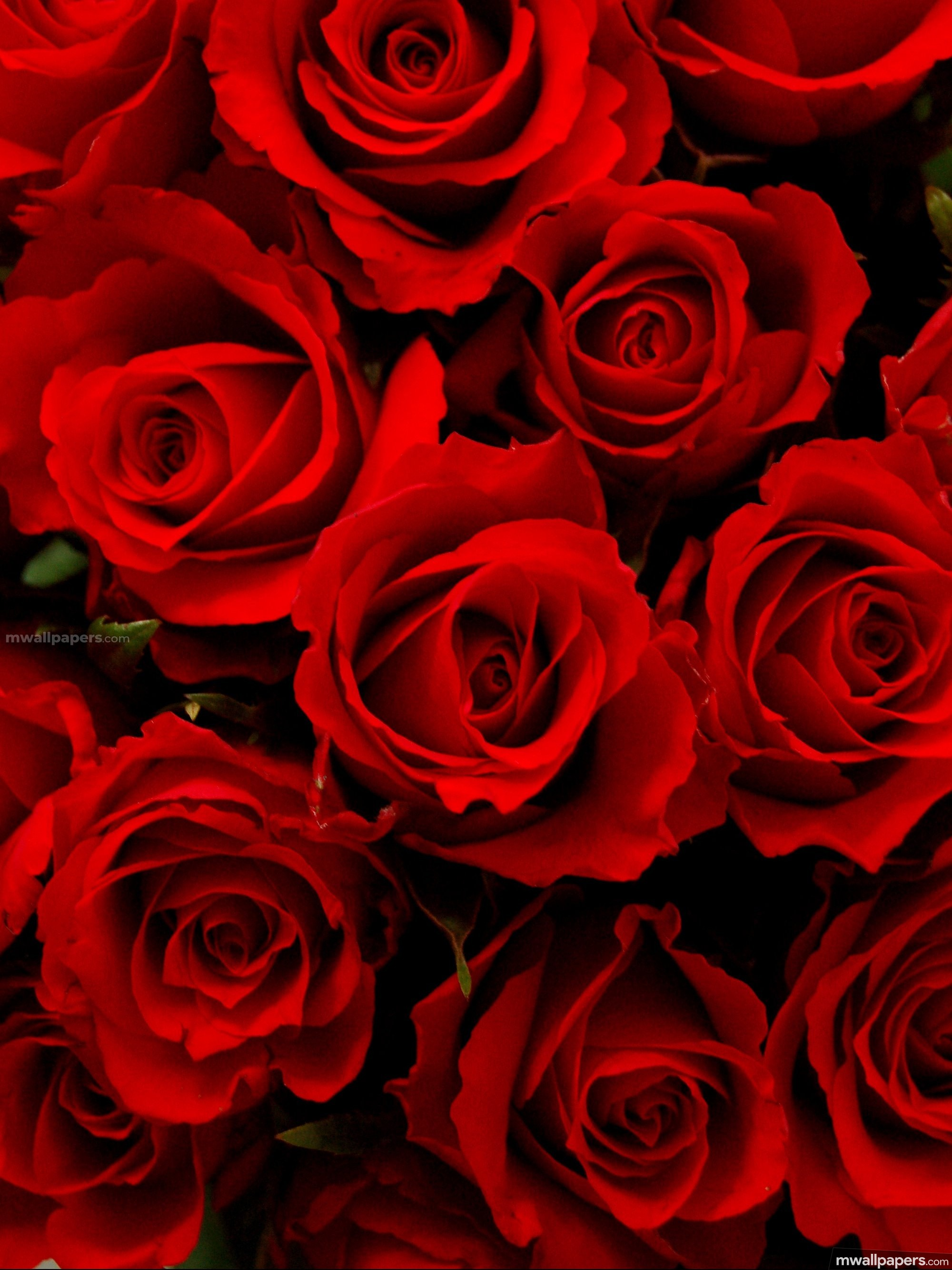 Roses Beautiful HD Photos (1080p) (16230) - Roses