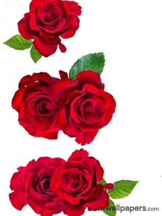 Red Rose HD Images and Wallpapers (1080p) - rose,red rose,flower,love