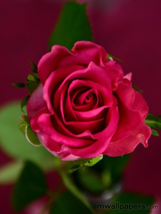 Red Rose HD Images and Wallpapers (1080p)
