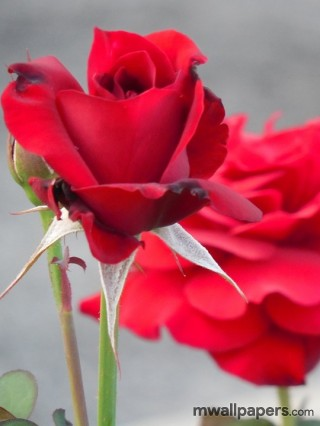 Red Rose HD Images and Wallpapers (1080p) - red,red rose,rose,love