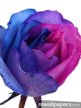 Roses Beautiful HD Photos (1080p) - rose,flower,yellow rose,blue rose,black rose