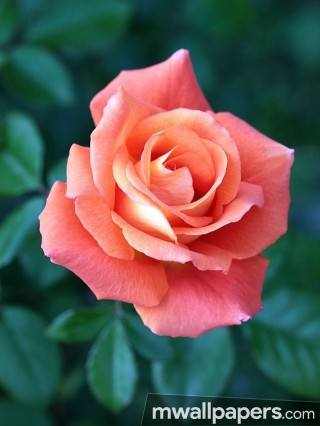 Roses Beautiful HD Photos (1080p)