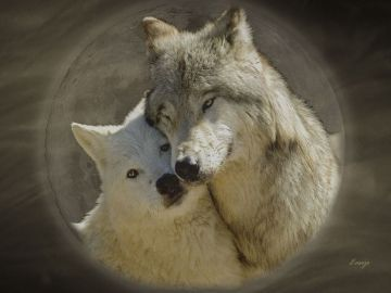 Dog Forest Wolves Nature Animals Dogs Love Wolf Wallpaper - Android / iPhone HD Wallpaper Background Download HD Wallpapers (Desktop Background / Android / iPhone) (1080p, 4k)