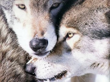 wolf love. Picture, wolf love, wallpaper and photos for free - Android / iPhone HD Wallpaper Background Download HD Wallpapers (Desktop Background / Android / iPhone) (1080p, 4k)