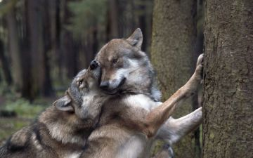 Wolves in love - HD wallpaper download. Wallpaper, picture, photos - Android / iPhone HD Wallpaper Background Download HD Wallpapers (Desktop Background / Android / iPhone) (1080p, 4k)