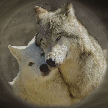 Wolves Wallpaper. CREATURES I LOVE!!!. Wolf wallpaper - Android / iPhone HD Wallpaper Background Download HD Wallpapers (Desktop Background / Android / iPhone) (1080p, 4k)