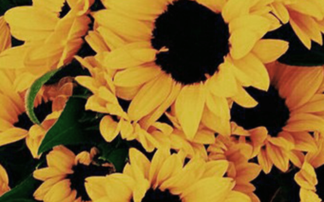 50 Yellow Aesthetic Sunflowers Hd Wallpapers Desktop Background Android Iphone 1080p 4k 1368x855 2020