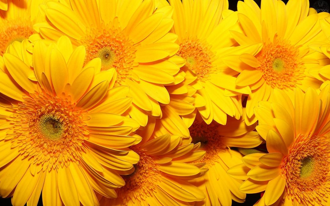 Yellow Aesthetic Sunflowers HD Wallpapers (Desktop Background / Android / iPhone) (1080p, 4k) (39234) - 3D / Abstract