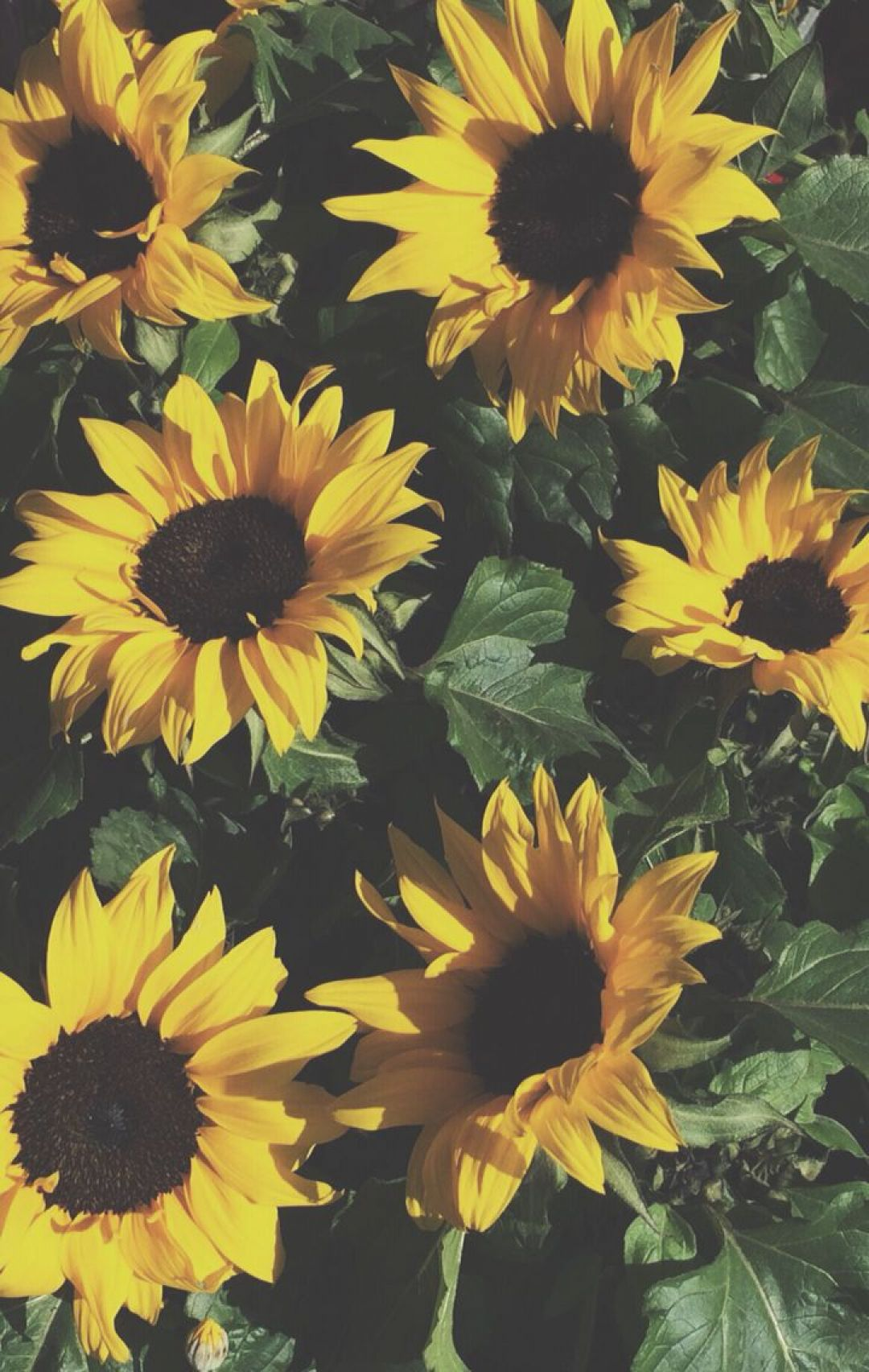 Yellow Aesthetic Sunflowers HD Wallpapers (Desktop Background / Android / iPhone) (1080p, 4k) (39238) - 3D / Abstract