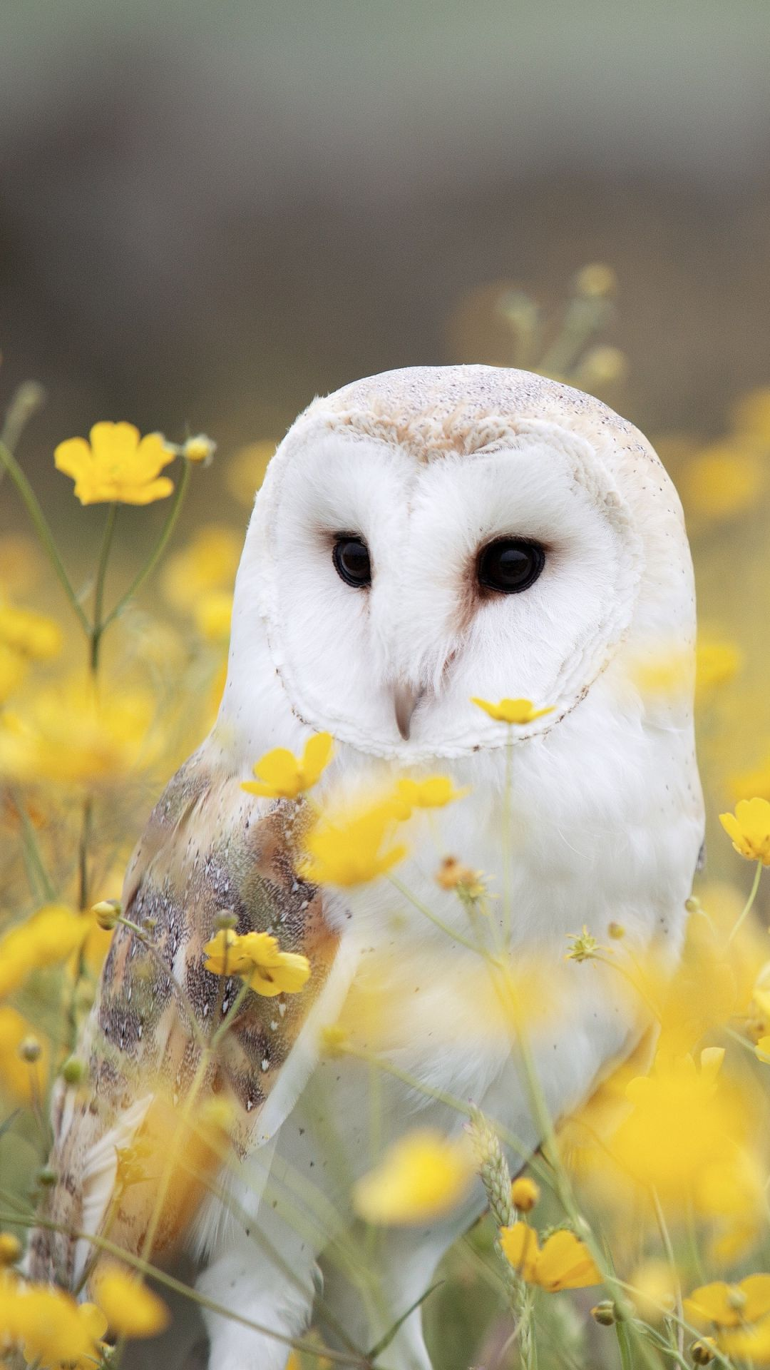 Owl iphone - Android, iPhone, Desktop HD Backgrounds / Wallpapers (1080p, 4k) HD Wallpapers (Desktop Background / Android / iPhone) (1080p, 4k)